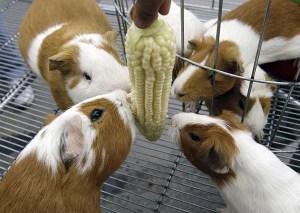 guinea-pigs9
